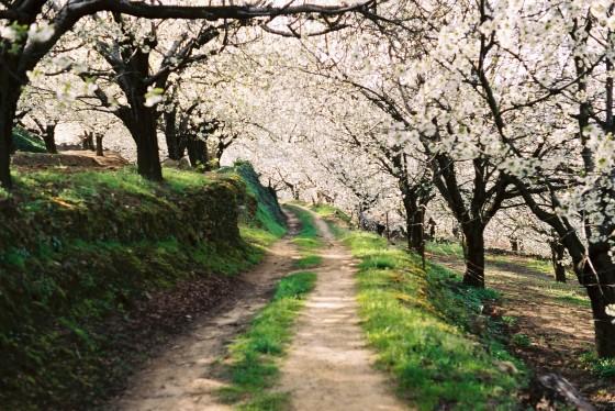 Camino_entre_el_bosque_de_cerezos_en_flor